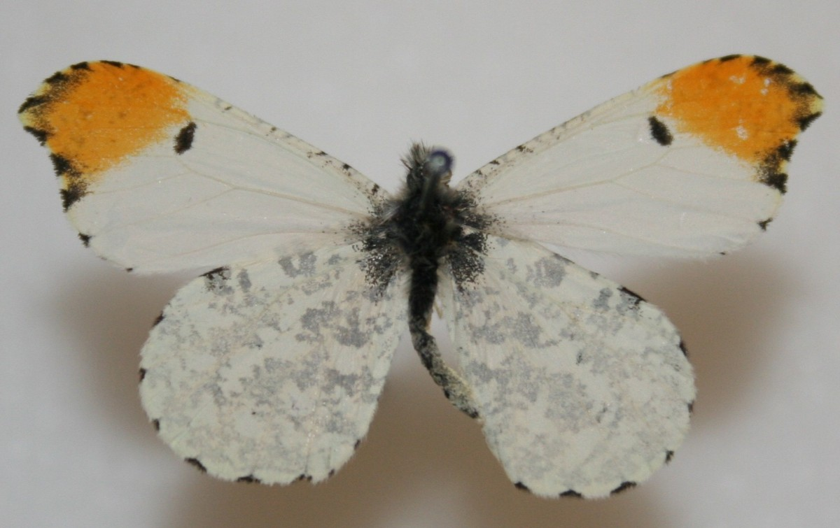 Male_Falcate_Orangetip_Megan_McCarty15