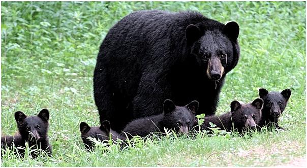 black_bear_w_5_cubs_nh_june_2007