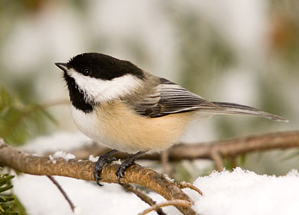 black_capped_chickadee_6
