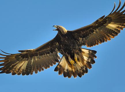 golden_eagle_8