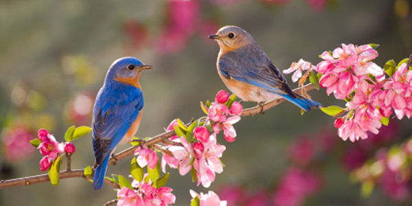 pair_of_bluebirds