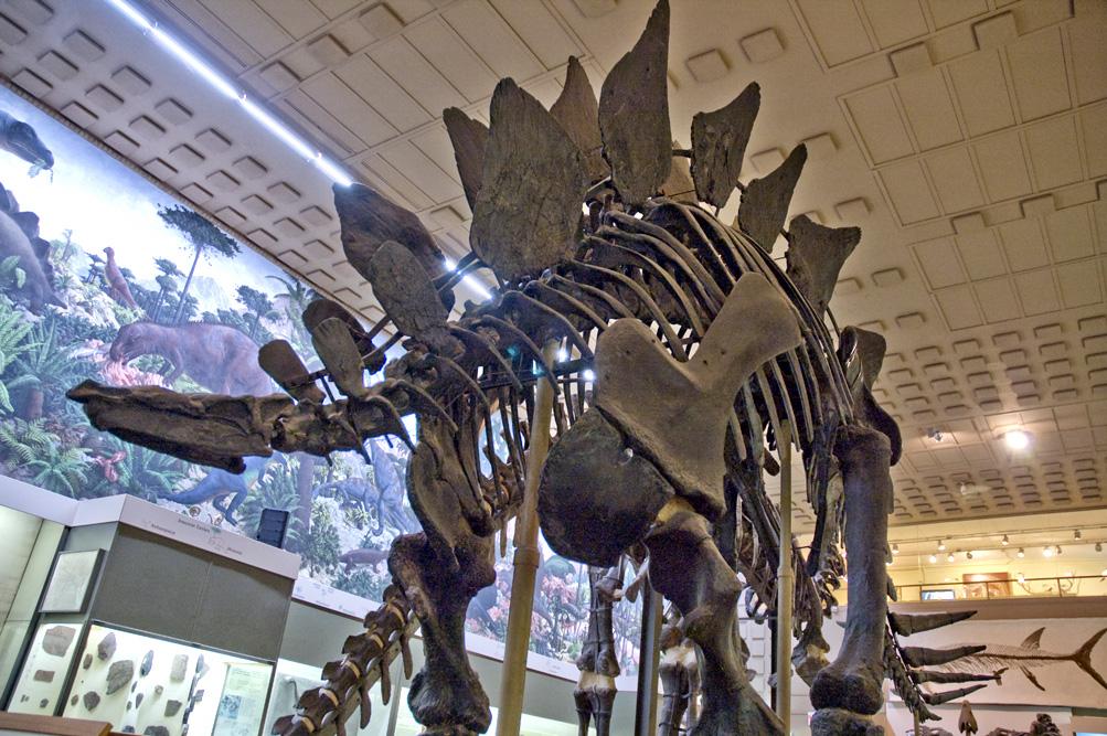 yale_peabody_stegosaurus