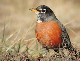 American_Robin_Close-Up