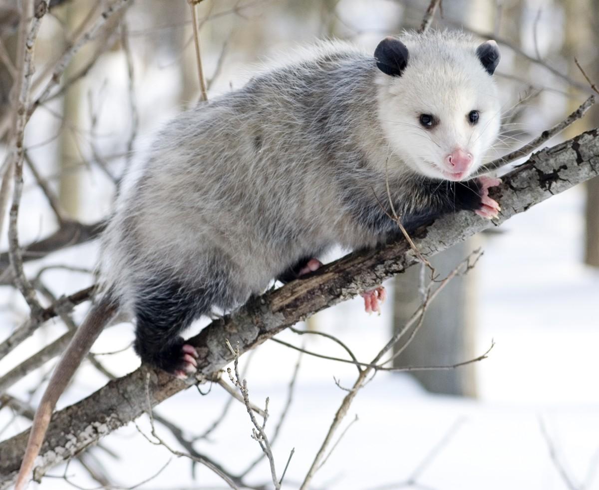 Opossum_3