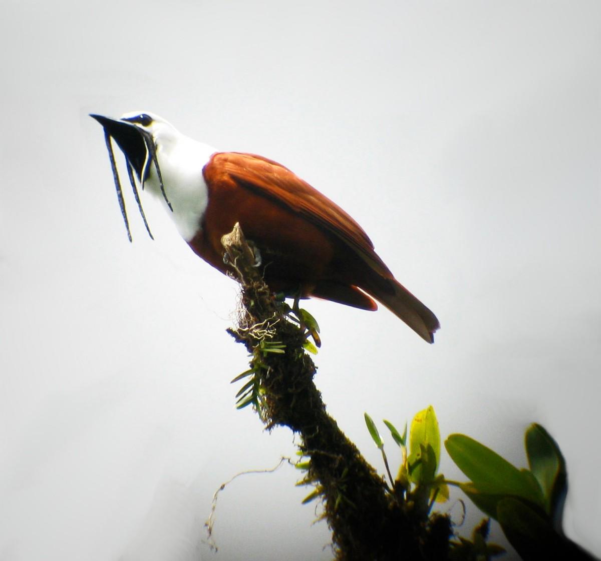 Procnias_tricarunculata_-Costa_Rica_-male-8-4c