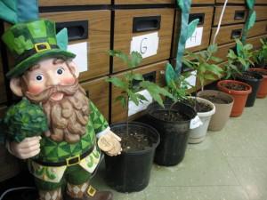 Paying respect to Holyoke's Irish roots.
