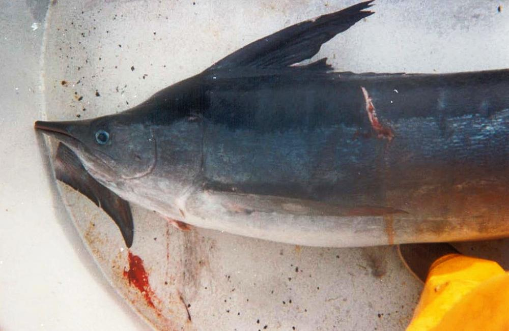 """A marlin caught as bycatch by the California drift gillnet fishery. The conservation group Oceana called the fishery one of the """"dirtiest"""" in the U.S. because of its high rate of discarded fish and other marine animals."""