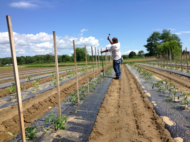 Dean Landale, pounding tomato stakes on his farm in Deerfield, Mass.