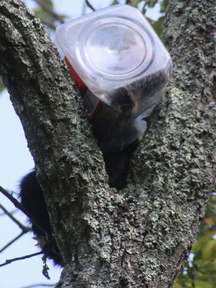 A bear cub who had to be rescued from a tree after getting his head stuck in a cookie jar is shown in a handout photo from the New Jersey Department of Environmental Protection.