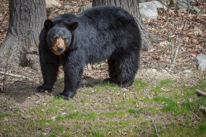 A sure sign of spring: Black bears seen in Pioneer Valley neighborhoods