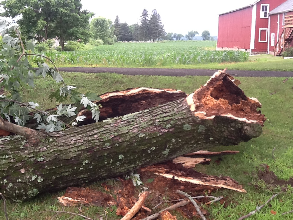 Tree down in Hadley after Thursday's storm.