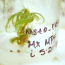 Marijuana plant growing from a tissue sample in a lab at the University of Mississippi.