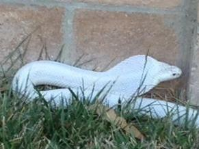 Authorities are hunting for this albino cobra in a Los Angeles suburb.