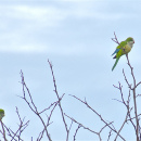 Wild Monk Parrots of Connecticut.