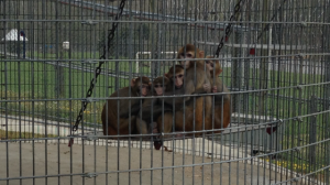 Rhesus monkeys - raised by peers - showing nervous behavior.