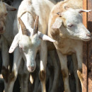 The Gallo goat is a secret weapon in efforts to cope with climate change.