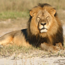 The death of Cecil the lion, lured out of a protected area in Zimbabwe, has led Delta Airlines to stop shipping big-game trophies.